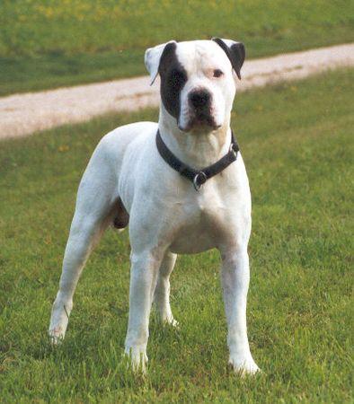 Dog Breed Like A Tall Bulldog