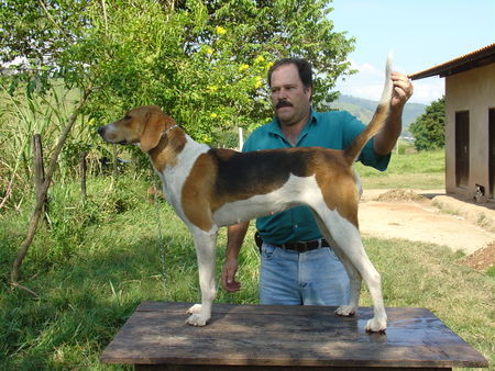 American Foxhound Canoa, American Foxhound do Brazil