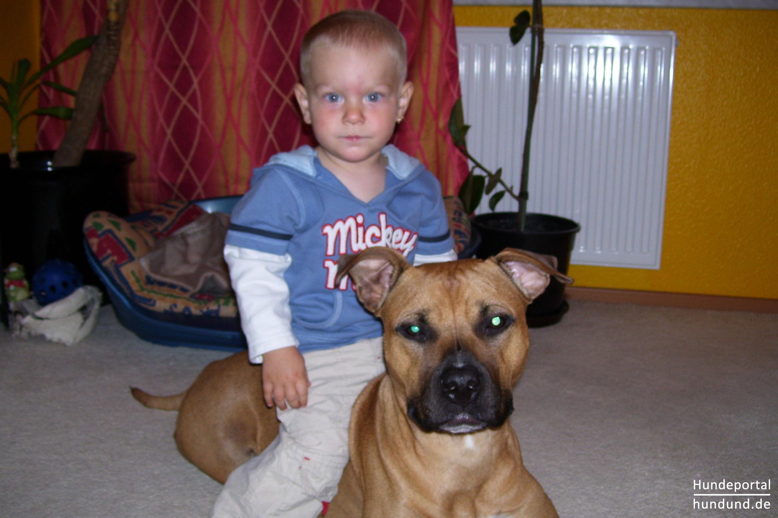 American Staffordshire Terrier Foto 42908 Hundund De