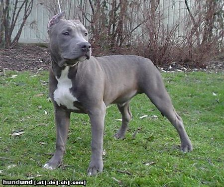 American Staffordshire Terrier Foto 8382 Hundund De