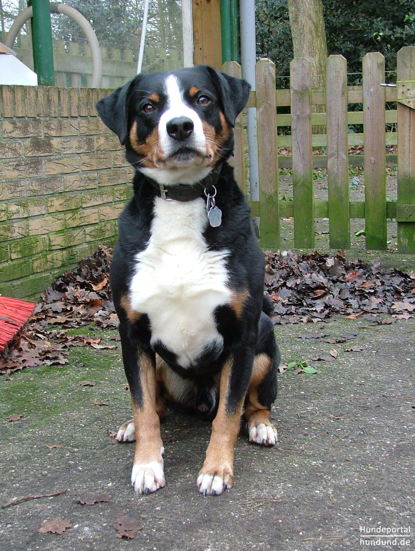 Appenzeller Sennenhund Foto 42168 Hundund De