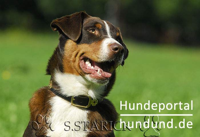 Appenzeller Sennenhund Foto 34178 Hundund De