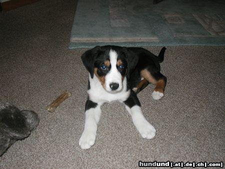 Appenzeller Sennenhund Foto 7269 Hundund De