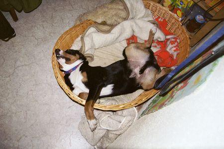 Appenzeller Sennenhund Foto 1344 Hundund De
