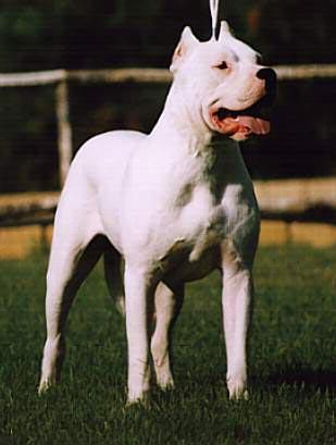 Dogo Argentino Argentinische Dogge Foto 235 Hundund De