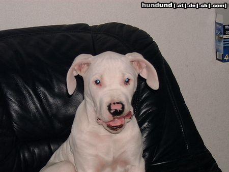 Dogo Argentino Argentinische Dogge Foto 7230 Hundund De