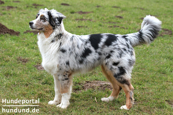 australian shepherd dog aussie hunderasse fotos. Black Bedroom Furniture Sets. Home Design Ideas