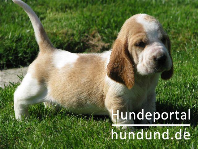 basset hound foto 39854. Black Bedroom Furniture Sets. Home Design Ideas
