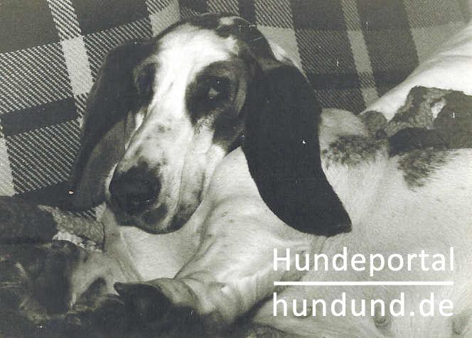 basset hound foto 18499. Black Bedroom Furniture Sets. Home Design Ideas