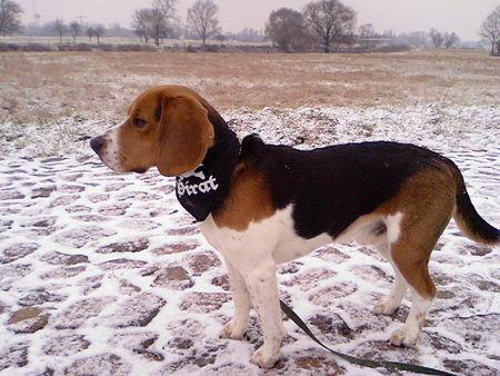 beagle english beagle hunderasse fotos. Black Bedroom Furniture Sets. Home Design Ideas