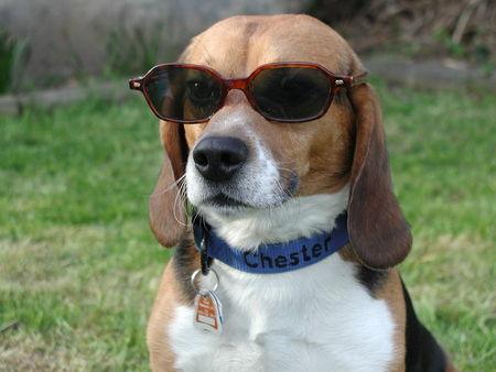 beagle english beagle foto 35076. Black Bedroom Furniture Sets. Home Design Ideas