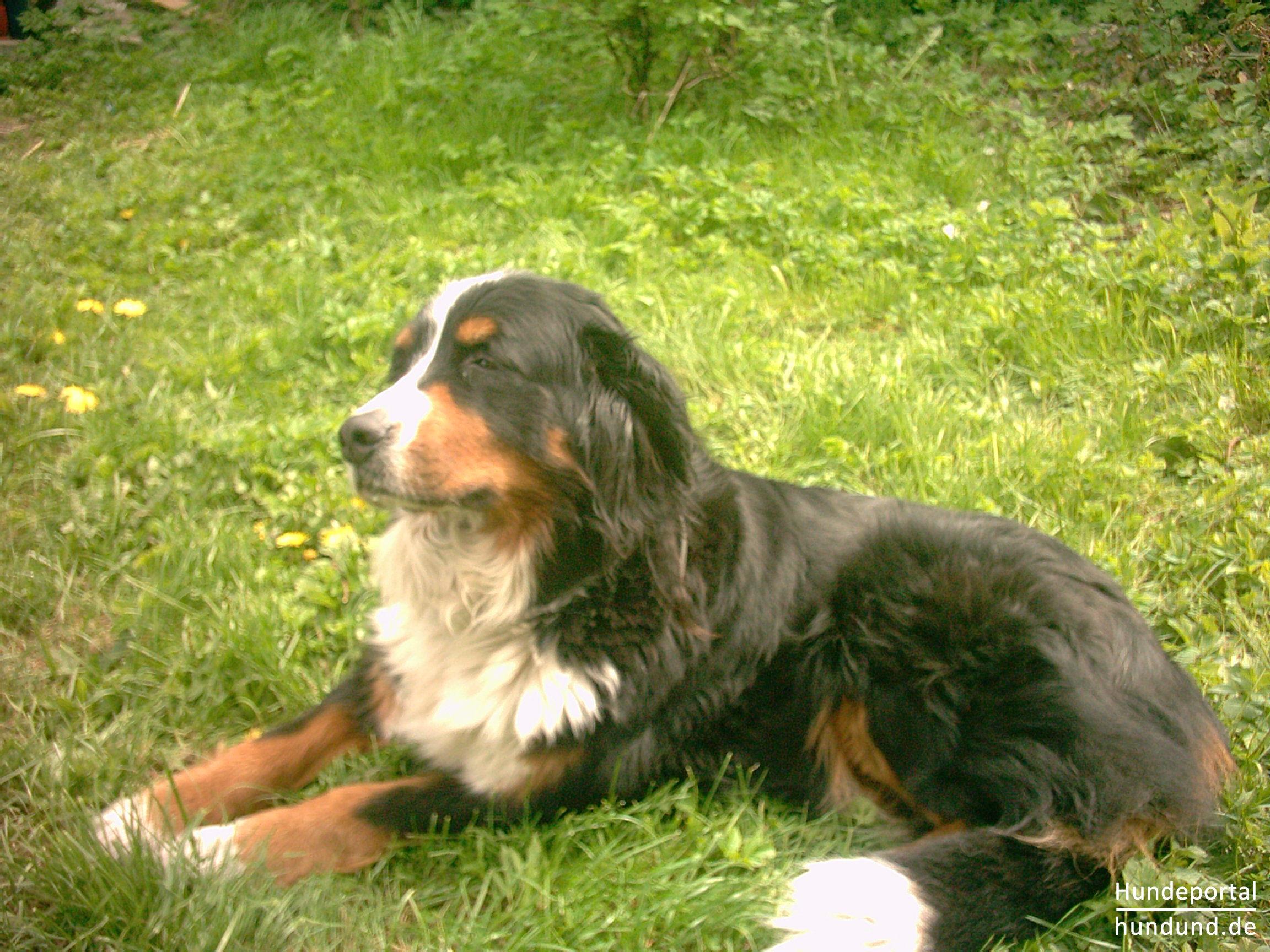Malerisch Schöne Hunderassen Ideen Von Berner Sennenhund Ah, Ein Schönes Sonnenbad Ist