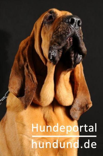 A Bloodhound To Die For Bloodhound, Blu...