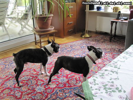 Boston Terrier Percy und Alnato