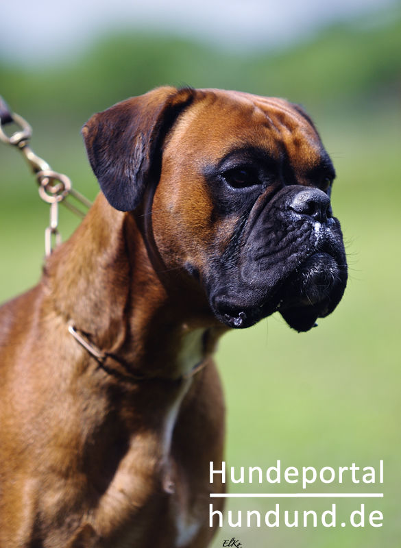 Boxer Deutscher Boxer Foto 46858 Hundund De