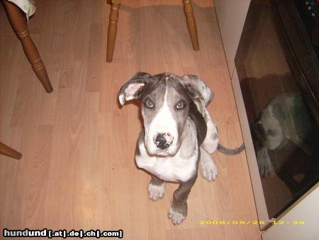 Deutsche Dogge Foto 44197 - hundund.de
