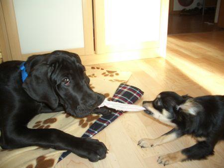 Deutsche Dogge Foto 41082 - hundund.de