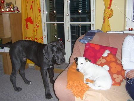 Deutsche Dogge Foto 40633 - hundund.de