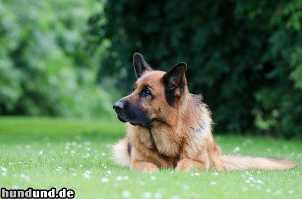 Deutscher Schaferhund Zuchter Hundezuchter Verzeichnis Hundund De