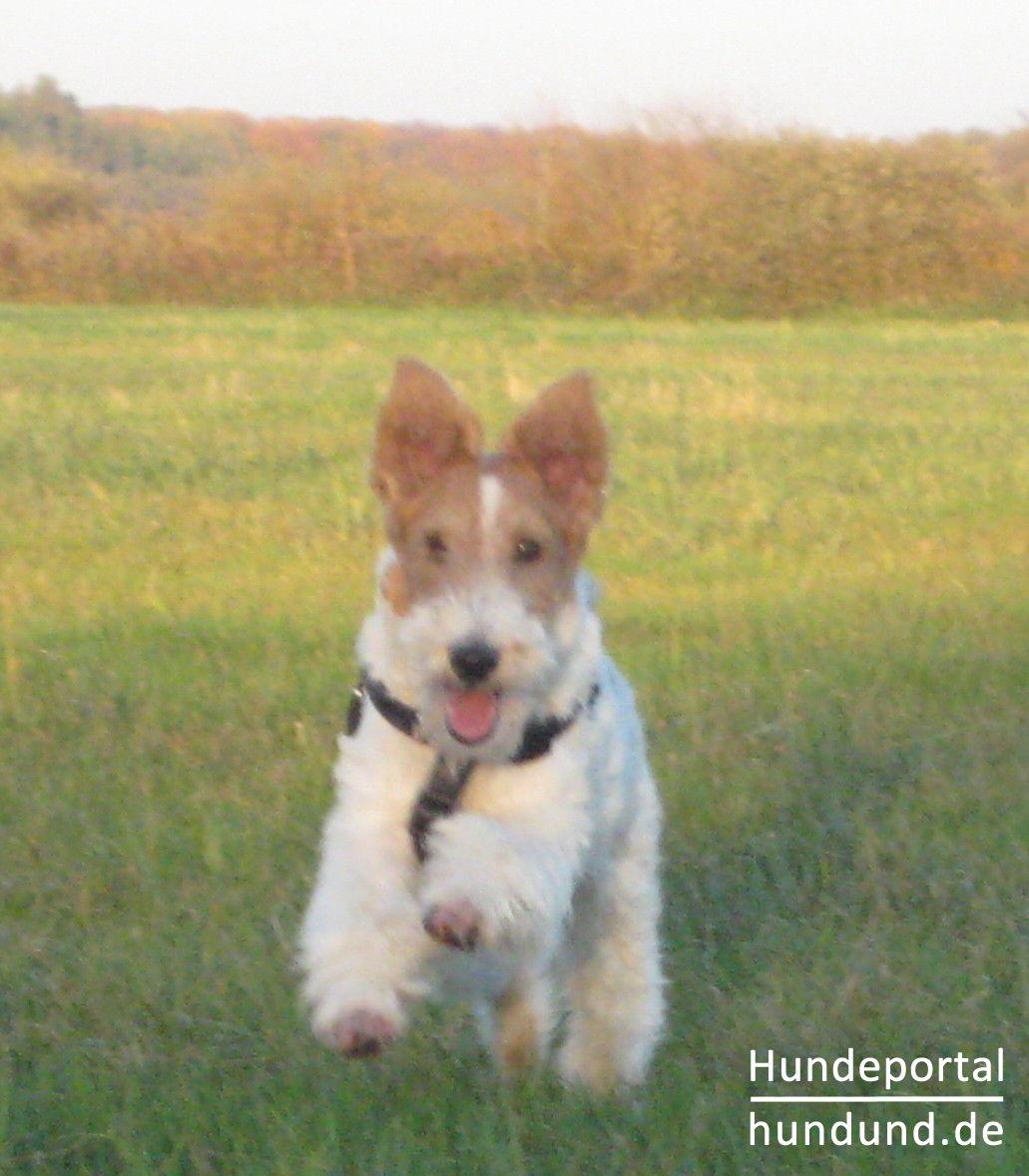Tolle Drahthaar Foxterrier Adoption Ideen - Schaltplan Serie Circuit ...