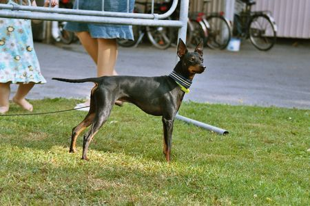 English Toy Terrier Brosing's Royal Toy Edition