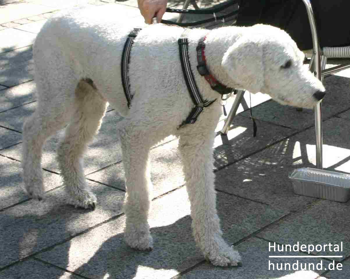 Grosspudel K 246 Nigspudel Foto 25632 Hundund De