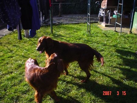 Irish Red Setter CORA & ASTOR