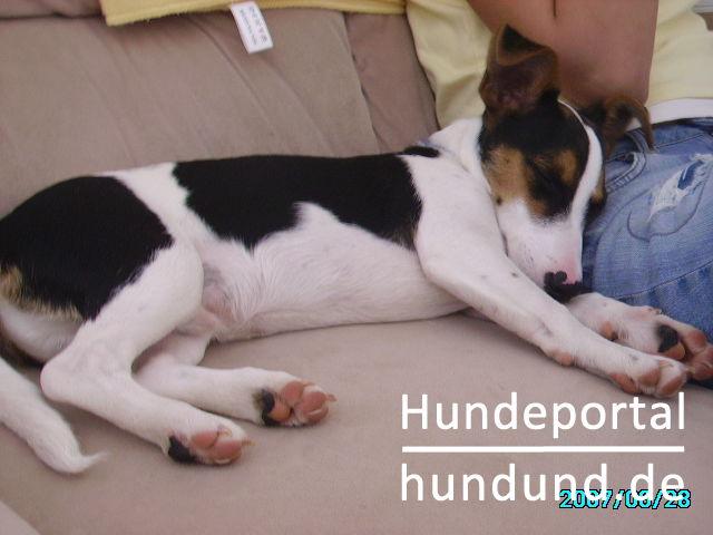 Jack Russell Terrier Foto 42496