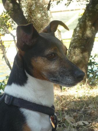 jack russell terrier kaufen kroatien