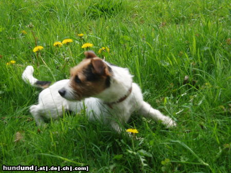 Jack-Russell-Terrier Nelly