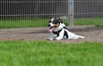 Jack-Russell-Terrier Hund
