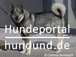 schwedischer elchhund