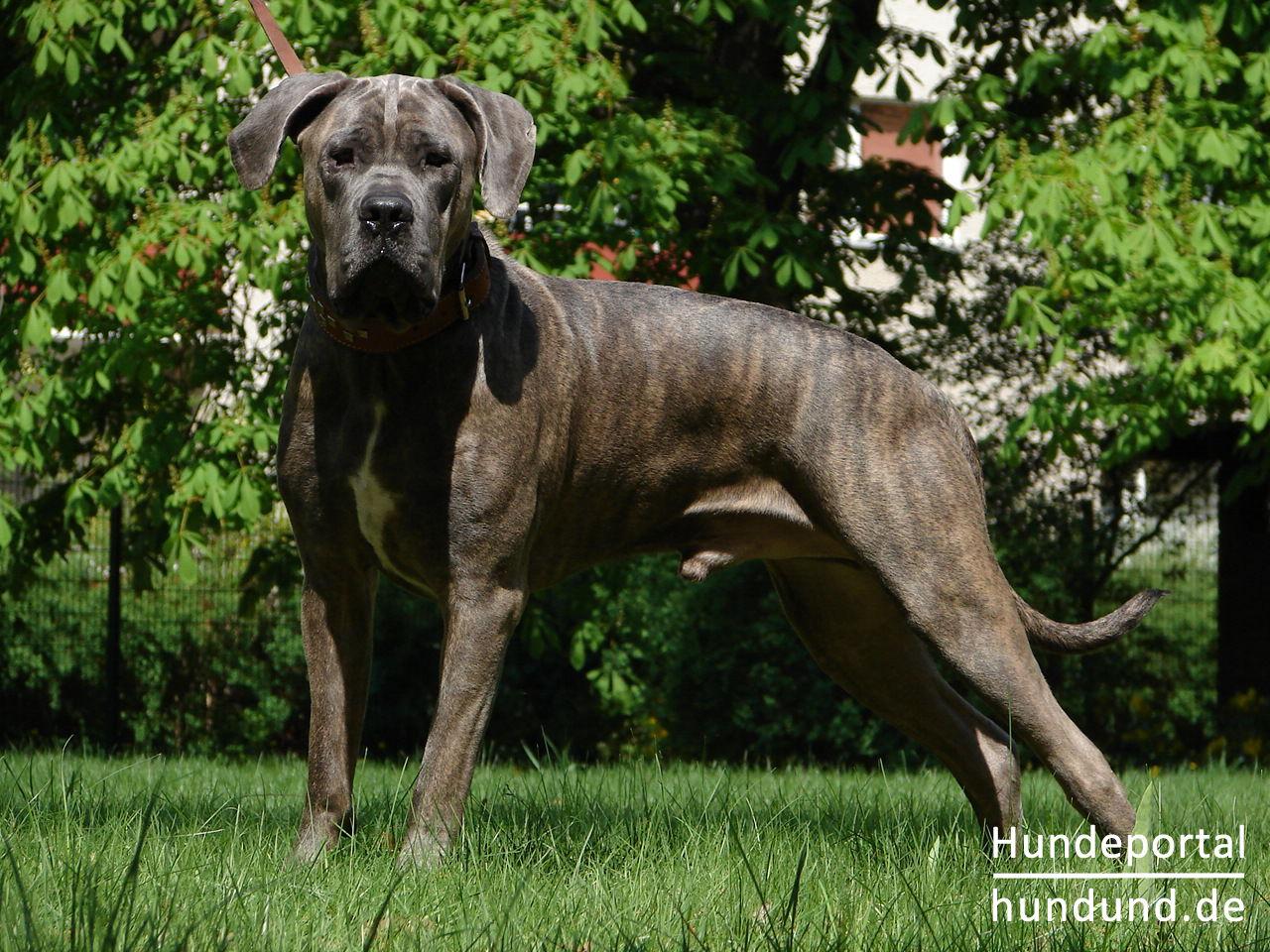 kanarische dogge perro de presa canario dogo canario. Black Bedroom Furniture Sets. Home Design Ideas