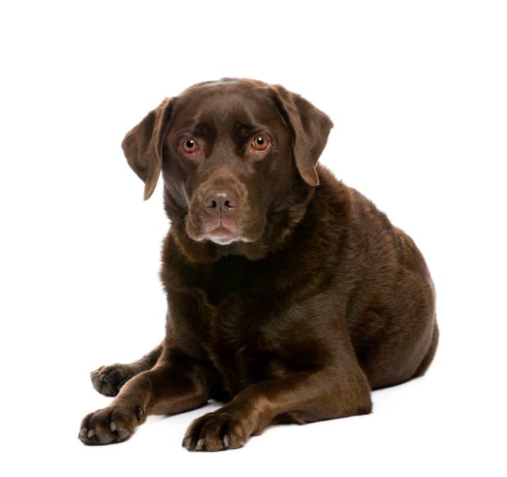 Labrador Retriever Zuchter Hundezuchter Verzeichnis Hundund De