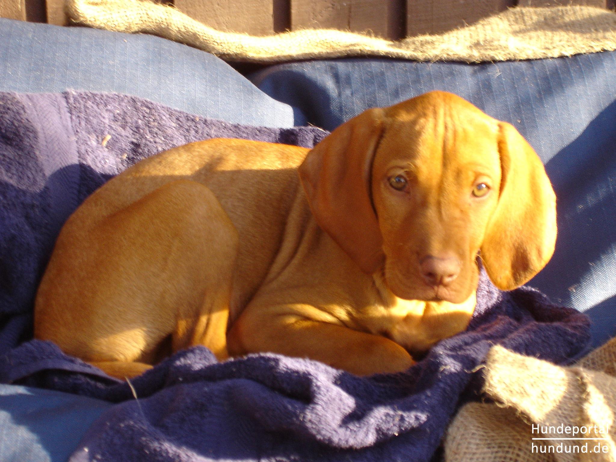 kurzhaariger ungarischer vorstehhund magyar vizsla foto 44898. Black Bedroom Furniture Sets. Home Design Ideas