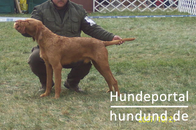 kurzhaariger ungarischer vorstehhund magyar vizsla foto 40674. Black Bedroom Furniture Sets. Home Design Ideas