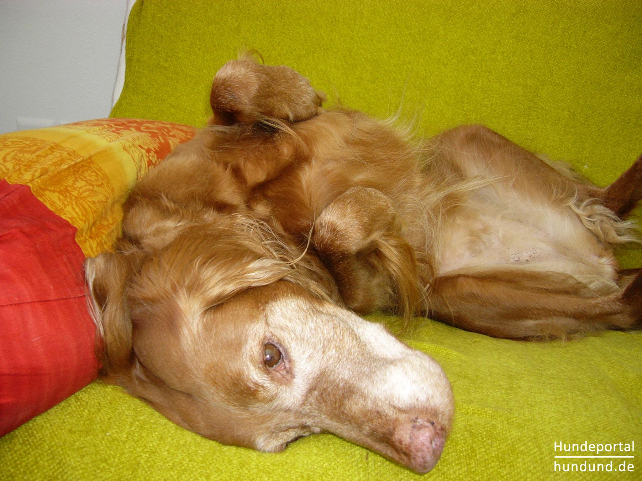 kurzhaariger ungarischer vorstehhund magyar vizsla foto 46300. Black Bedroom Furniture Sets. Home Design Ideas