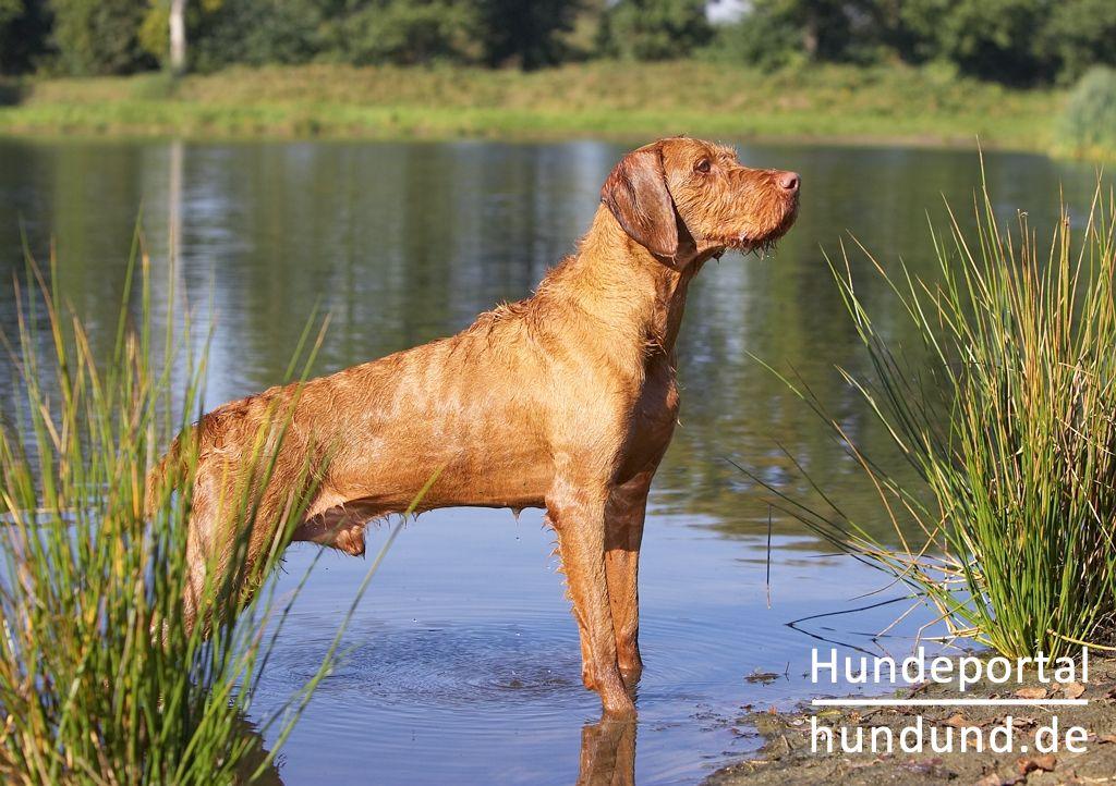 kurzhaariger ungarischer vorstehhund magyar vizsla foto 43812. Black Bedroom Furniture Sets. Home Design Ideas