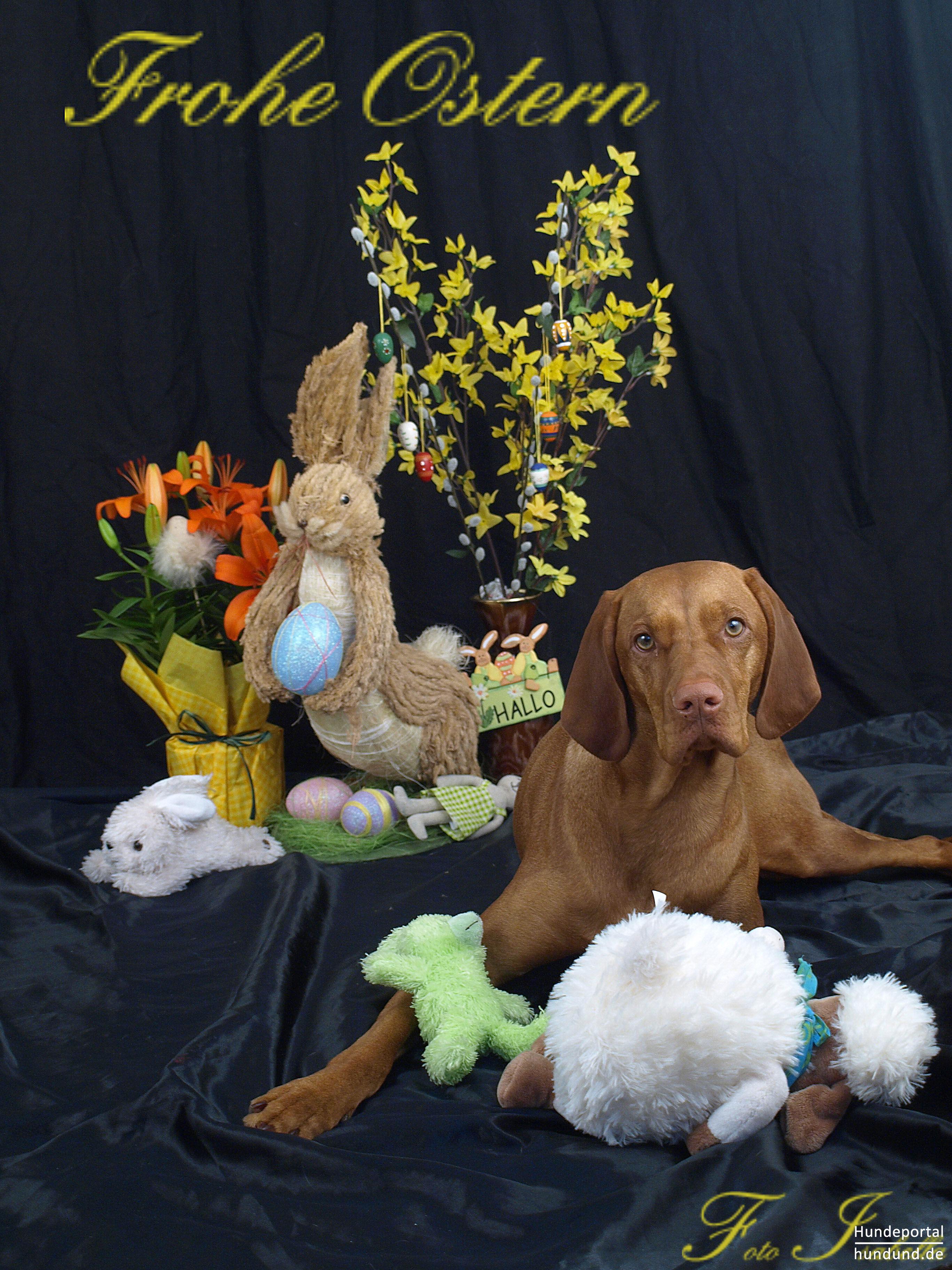 kurzhaariger ungarischer vorstehhund magyar vizsla foto 46841. Black Bedroom Furniture Sets. Home Design Ideas