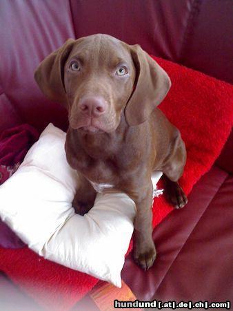 kurzhaariger ungarischer vorstehhund magyar vizsla foto 45090. Black Bedroom Furniture Sets. Home Design Ideas