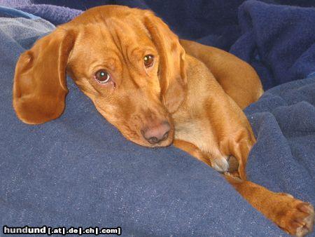 kurzhaariger ungarischer vorstehhund magyar vizsla foto 19561. Black Bedroom Furniture Sets. Home Design Ideas