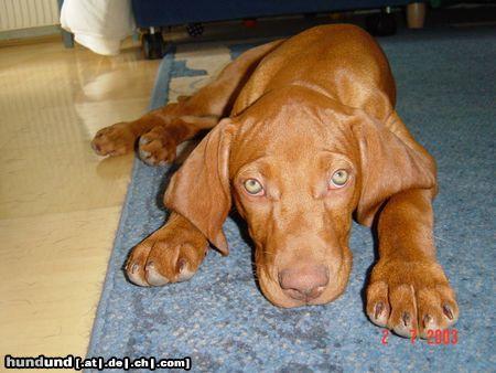 kurzhaariger ungarischer vorstehhund magyar vizsla foto 5620. Black Bedroom Furniture Sets. Home Design Ideas