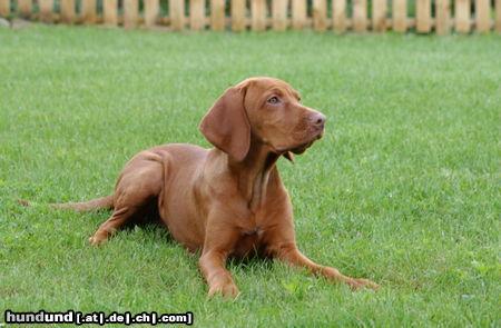 kurzhaariger ungarischer vorstehhund magyar vizsla foto 25333. Black Bedroom Furniture Sets. Home Design Ideas