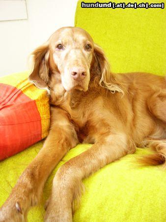 kurzhaariger ungarischer vorstehhund magyar vizsla foto 46299. Black Bedroom Furniture Sets. Home Design Ideas