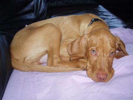 kurzhaariger ungarischer vorstehhund magyar vizsla foto 30941. Black Bedroom Furniture Sets. Home Design Ideas