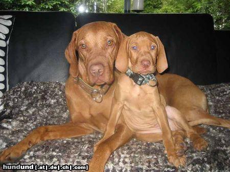 kurzhaariger ungarischer vorstehhund magyar vizsla foto 45858. Black Bedroom Furniture Sets. Home Design Ideas