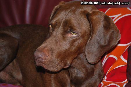 kurzhaariger ungarischer vorstehhund magyar vizsla foto 45088. Black Bedroom Furniture Sets. Home Design Ideas