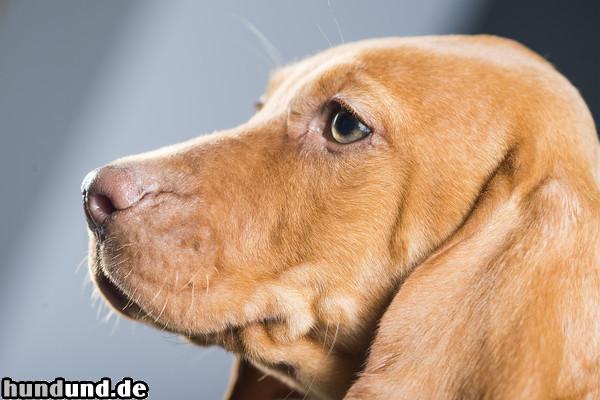 kurzhaariger ungarischer vorstehhund magyar vizsla foto 47444. Black Bedroom Furniture Sets. Home Design Ideas