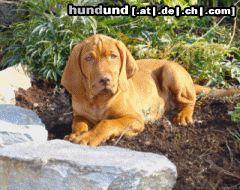 kurzhaariger ungarischer vorstehhund magyar vizsla foto 20256. Black Bedroom Furniture Sets. Home Design Ideas