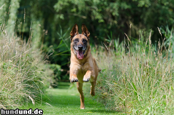 Malinois Hund